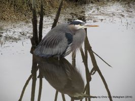 Great Blue Heron Reflection by vanwaglajam