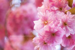 Blossom Perfection by Hitomii