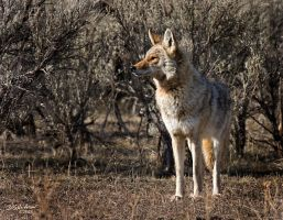 Coyote I by DGAnder