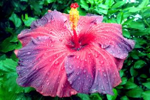 pink hibiscus by Jed029