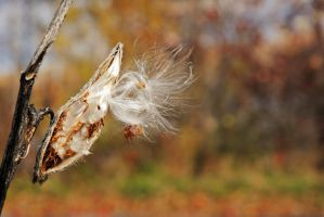 Milkweed 2 by LucieG-Stock