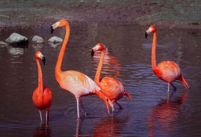 Flamingos 2 by PascalsPhotography