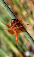 Flame Skimmer Morning by Monkeystyle3000