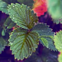 Strawberry leaves by rejmann