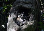 The Raccoon Nest by Eco-Cate