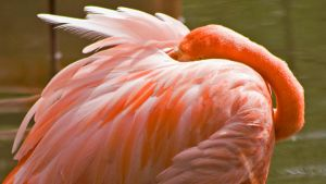 Flamingo 1 Wallpaper by MichelLalonde