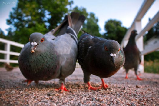 Two Fat Pigeons. by the13wizard