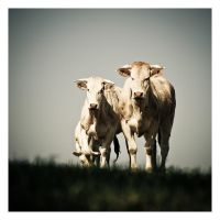 Cows I by Sblourg