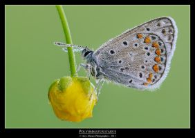 Polyommatus icarus 2 by SelvaggioRocker