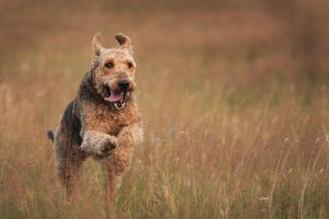 Airedale Terrier by lovable-moments