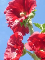 hollyhock 3 by ingeline-art
