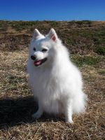 Japanese Spitz by SheltieWolf