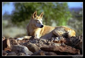 Canis lupus dingo by Hiddenplanet