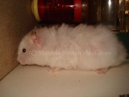 Another picture of my hamster by Mel-at-ne