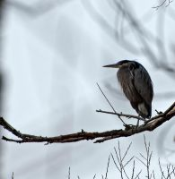 BLue Heron - #4 by mudyfrog