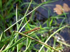 red dragonfly stock 1 by Samidare88