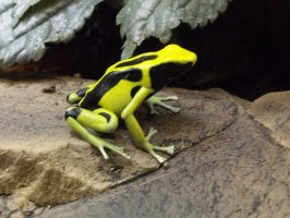Yellow-banded poison dart frog by decors