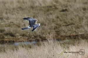Northern Harrier Hawk by sweetcivic