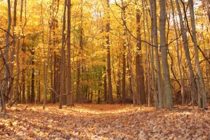 Fall Woods with Vines by kbhollo