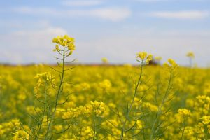 Canola Field by arashkya