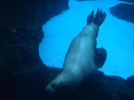 Blind Sea Lion 2 by firesember222