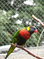 Lorikeet 2 Stock by thiselectricheart