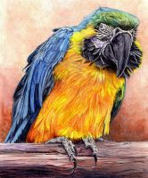 Blue and Gold Macaw by BIRDS-4-BETTER