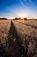 cornfield sunset by Lunox-baik