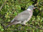 Wood Pigeon by lucybaxter