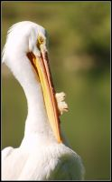 white pelican 2 by latvys