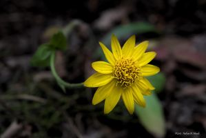 Yellow Flower by abstractcamera