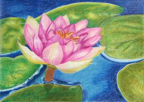 waterlily by photonline