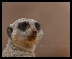 Portrait of a Meerkat by tleach0608