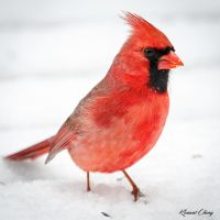 .:St Louis Cardinal:. by RHCheng