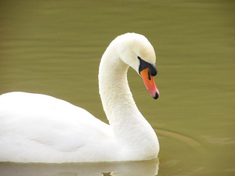 Swan by Emily18495