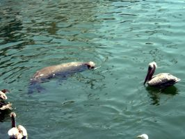 a seal and a pelican chillin i by sickcatstock