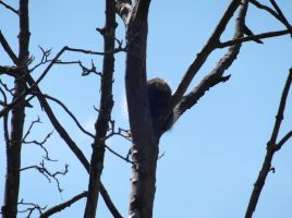 Porcupine up a tree XD by Fran48