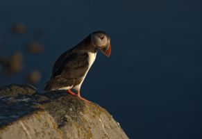 Atlantic Puffin 2 by netrex