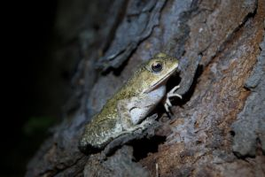Asian Common Toad 2 by SodiumTritide