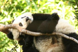 Too Much Panda-Too Little Tree by I-Heart-Photos