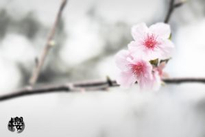 Cherry blossoming III by johnchan