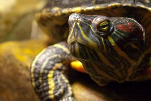 Red-eared slider by garethjns