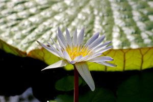 Water Lily IV by expression-stock