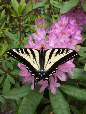 Pale Swallowtail Butterfly by Track-Maidens