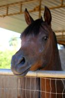 Another Curious Arabian by ThePerfectEquestrian