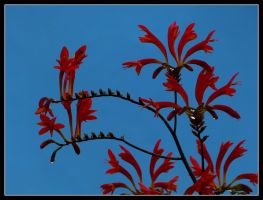 Red arabesque by kanes