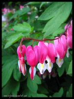 Bleeding Hearts 380 by caybeach