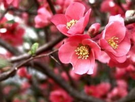 Pink Blossoms by AcceptedOutcast