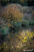 Willow Reflection by mjohanson