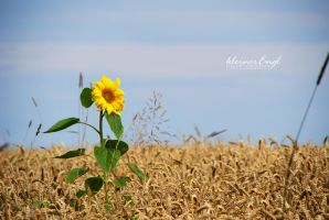 sunflower by kleinerEngl